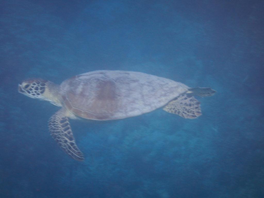 tortue vue lors d'une plongée sous-marine à bord de abaca
