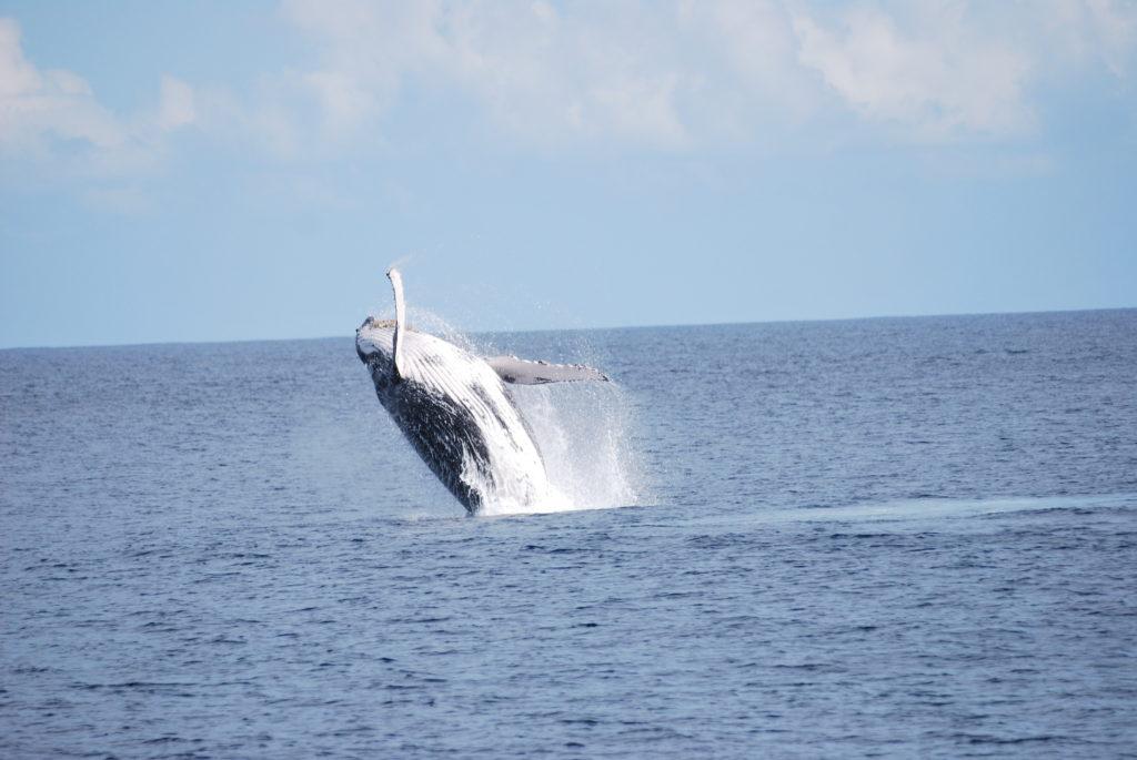 baleine hors de l'eau - croisière sur le catamaran abaca